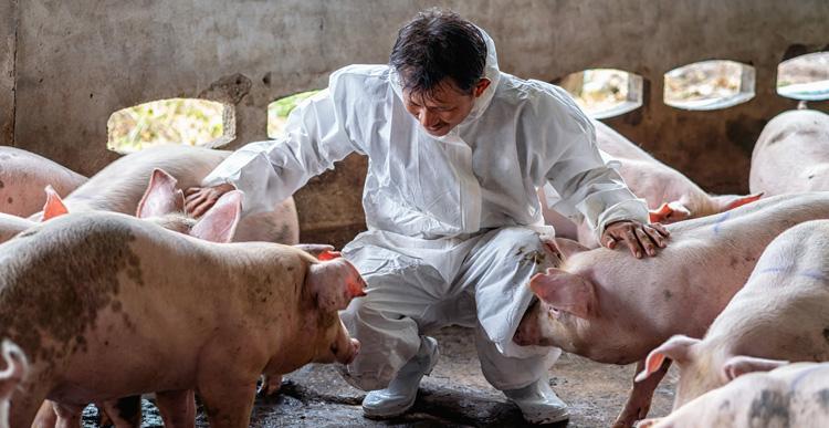 Image crop d'un homme caressant des porcs dans un élevage